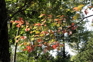 Leaves changing color in Brattleboro Vermont, Photographed by Liz Ronk
