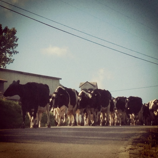 cows in vermont heading to the barn to be milked